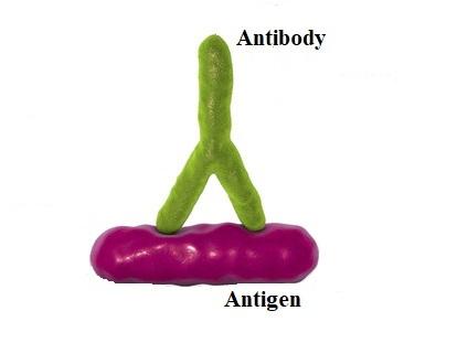 16 Perbedaan antara antigen dan antibodi